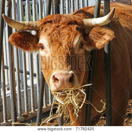 Brown Cow Of The Breed While Eating Straw And Hay In The Barn Of The Farm