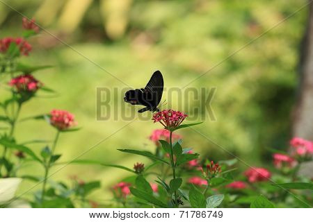 Star Cluster flowers and Swallowtail butterfly
