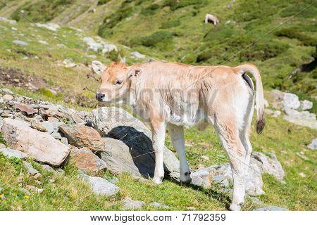 Bruna Pyrenees