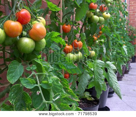 Homegrown Tigerella Tomatoes