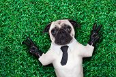 image of rest-in-peace  - pug dog in tuxedo or suit with tie resting on grass or meadow in the park with victory or peace fingers - JPG