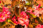 foto of begonias  - Bush of begonia flowers succulent plant with green and brown tender leaves brtanches and trunk - JPG
