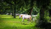 stock photo of lipizzaner  - Lipizzaner horses in the meadow of Slovenia - JPG