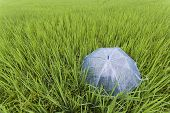 picture of rainy season  - Umbrella in the field of the rainy season - JPG