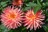 stock photo of plant species  - Pink Dahlia - JPG