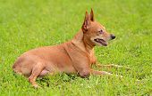 picture of miniature pinscher  - Miniature pinscher resting in the park on green grass - JPG