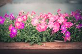 image of petunia  - Petunia or Petunia Hybrida Vilm in the garden or nature park vintage - JPG
