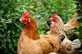 stock photo of poultry  - Poultry in the poultry yard in summer