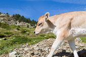 stock photo of moo-cow  - Brown cow through the Catalan Pyrenees Spain - JPG