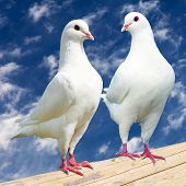 stock photo of pigeon  - Two white pigeon  - JPG
