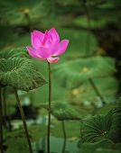 stock photo of blown-up  - The pink Lotus flower half - JPG