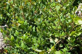 stock photo of runaway  - Young runaways of laurel in nature in summer  - JPG