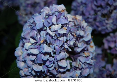 Close up Blue Flower