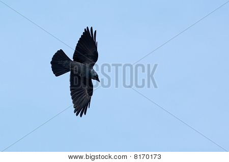 Jackdaw (corvus Monedula)  In Fly.
