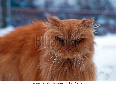 Red Long Hair Cat Walking In Snow