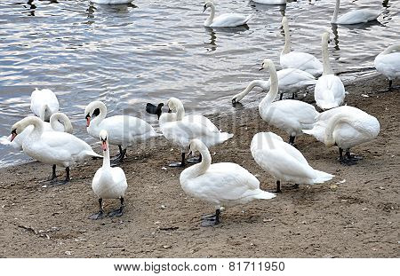 swans by the river