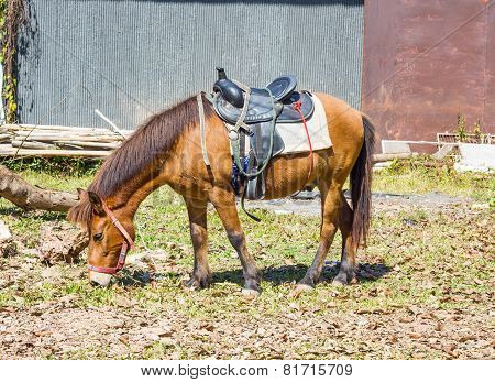 Horse With Saddle  Eating Hay