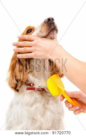 Combing dog breed Russian Spaniel