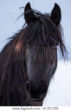 Portrait Beauty Friesian Horse In Winter