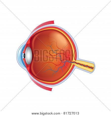 Eye Anatomy Isolated On White Vector