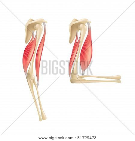 Elbow Joint Anatomy Isolated On White Vector