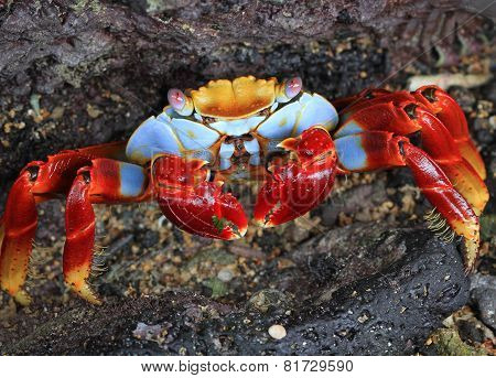Sally lightfoot crab Crab on a rock