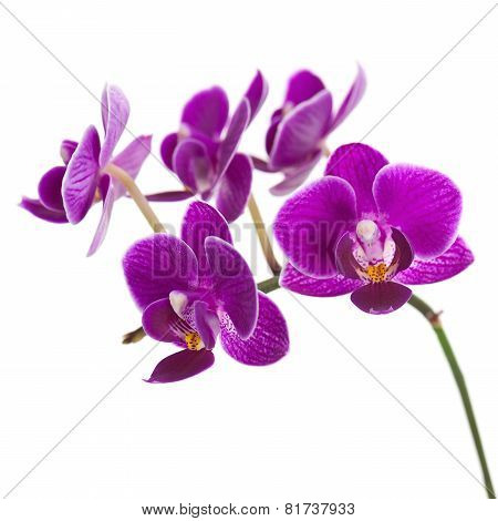 Blooming Twig Of Purple Orchid Isolated On White Background.
