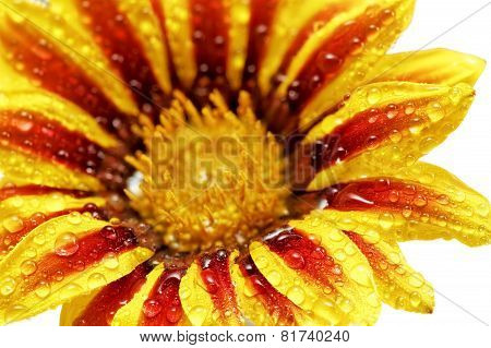 Single Flower Of Tiger Gazania With Drops. (splendens Genus Asteraceae).isolated.