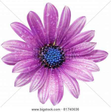 Single Flower Of Gazania With Drops. (splendens Genus Asteraceae).isolated.