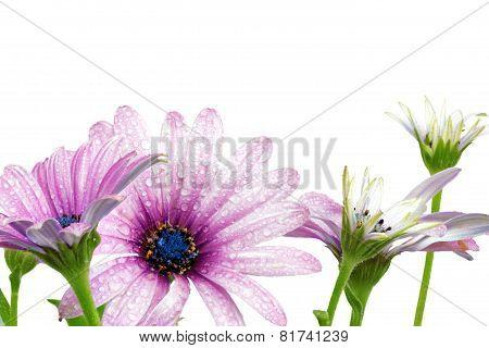 Flowers Of Gazania With Drops. (splendens Genus Asteraceae)