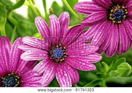 Flowers Of Gazania With Drops. (splendens Genus Asteraceae)