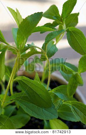 Close Up Of Stevia Plant