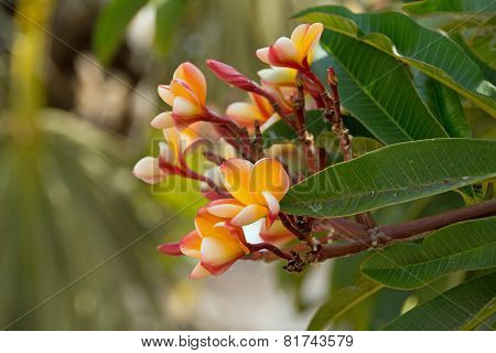 Plumeria rubra on leaf