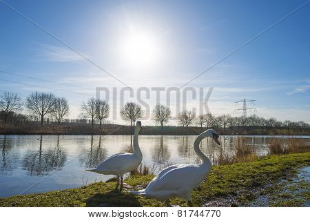 Swan on the shore of a sunny canal in winter
