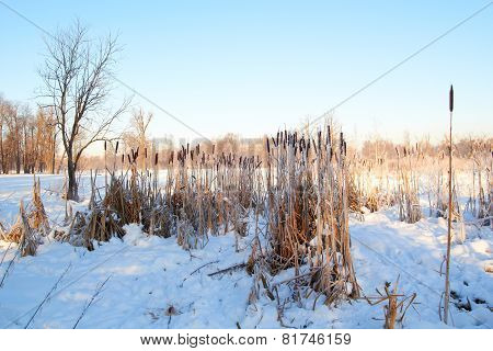 Cattail frosen in snow forest against the blue sky background