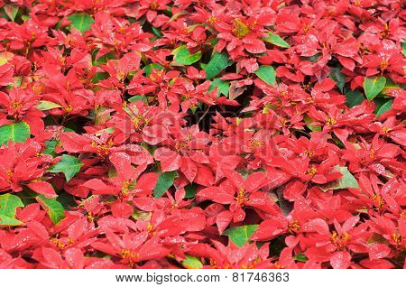 Bright Red Poinsettia