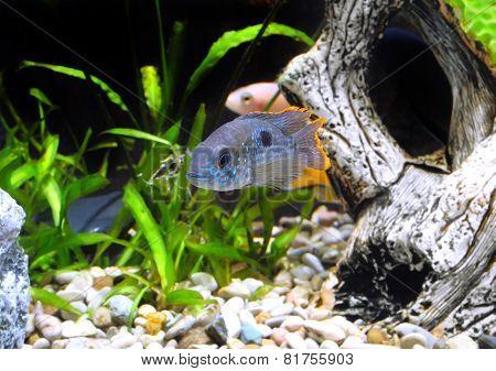 Aquarium Fish Dwarf Cichlid-apistogramma Nijsseni.