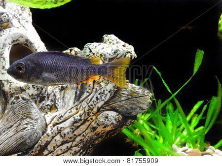 Aquarium Fish Dwarf Cichlid