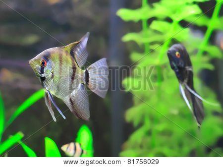 Aquarium Fish-  Black And White  Scalare