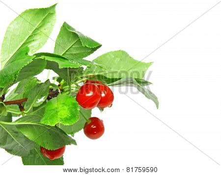 A Lot Of Cherrys With Stem.