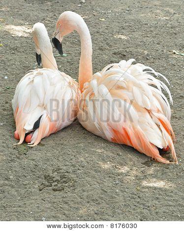 flirtatious flamingo