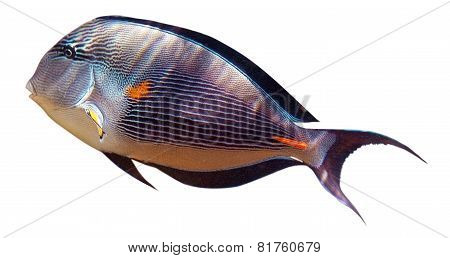Surgeon fish -Red Sea. Isolated over white.