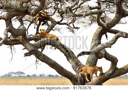 Pride Of Lionesses Resting On A Tree