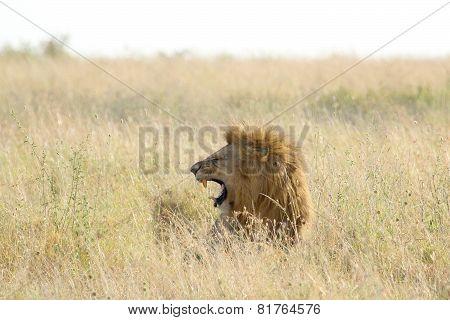 Male Lion Roars In The Grassland