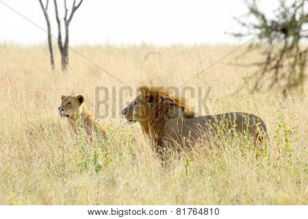 Couple Of Lion And Lioness In Savannah