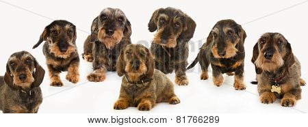 Seven Wirehaired Dachshund Dogs