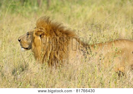 Male Lion In The Savannah