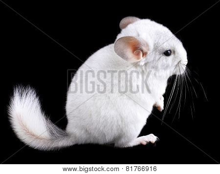 White Baby  Ebonite Chinchilla On Black