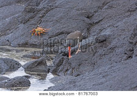 An American Oystercatcher Looking For Food On The Rocks