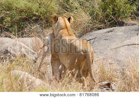 Lioness Bringing A Prey